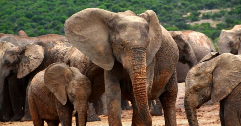 Poaching Is Forcing Elephants to Evolve Away From Having Tusks – Futurism
