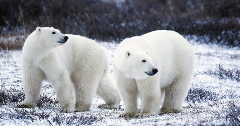 Polar Bears Are Terrorizing a Russian Town Due to Climate Change